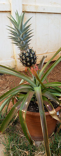 pineapple A Friend in the Islands Interesting Information