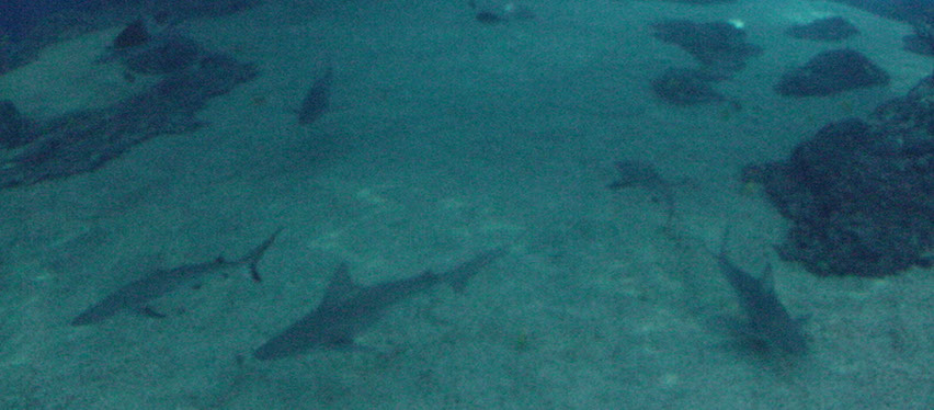 Sharks \A Friend in the Islands Interesting Information About Hawaii