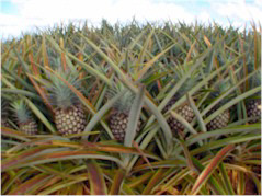 How long does it take for a pineapple to mature